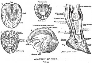 Anatomy of a Horse Hoof
