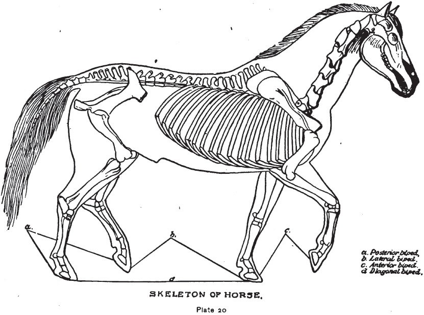 Skeleton of a Horse