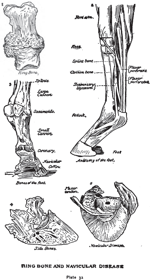 Ring Bone and Navicular Disease